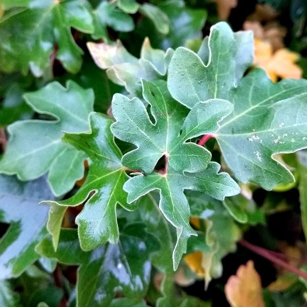 Acer Campestre Field Maple Hedging Plants For Sale Uk James