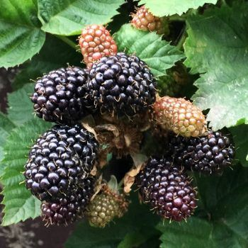 Blackberry Adrienne | Blackberry Plants for Sale