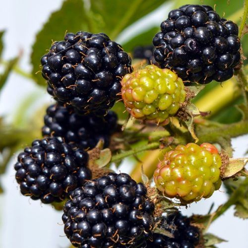 Blackberry Bedford Giant | Blackberry Plants for Sale