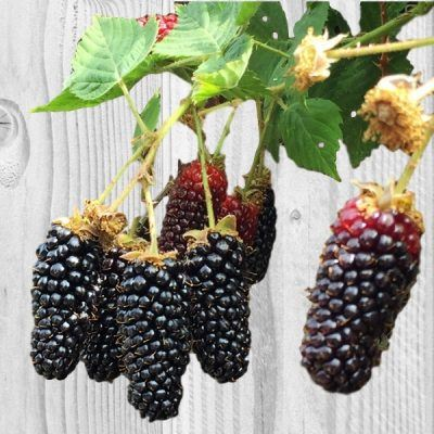 Blackberry Karaka Black | Blackberry plants for sale