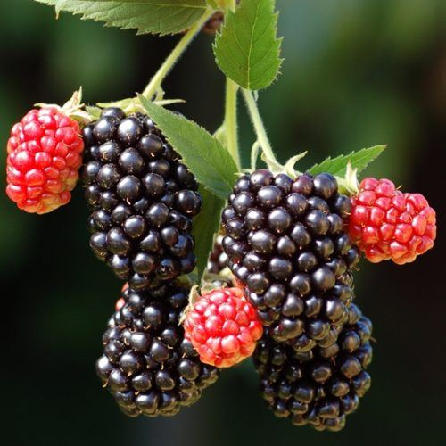 Blackberry Merton Thornless | Blackberry Plants for Sale