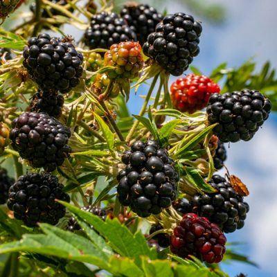 Blackberry Oregon Thornless | Blackberry plants for sale