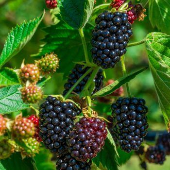 Blackberry (Waldo) | Blackberry plants for sale