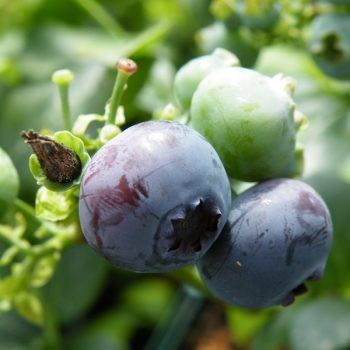 Blueberry Blue Crop | Blueberry Plants for Sale