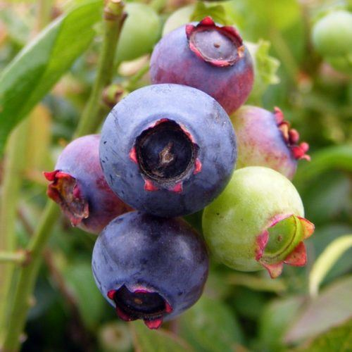 Blueberry Brigitta | Blueberry Plants for Sale