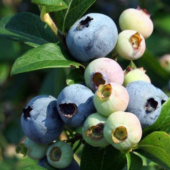 Blueberry (Denise Blue) | Blueberry Plants for Sale