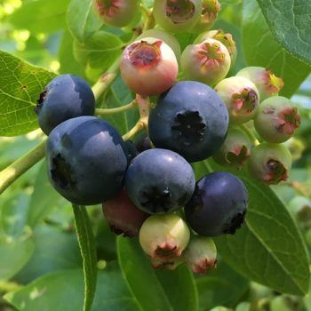 Blueberry (Draper) | Blueberry Plants for Sale