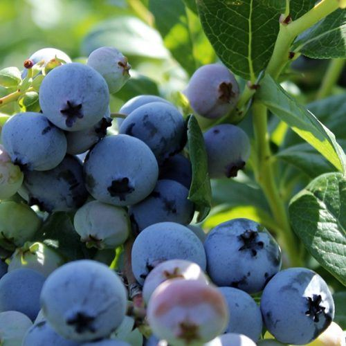 Blueberry (Elliott) | Blueberry Plants for Sale
