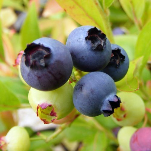 Blueberry Gold Traube | Blueberry Plants for Sale
