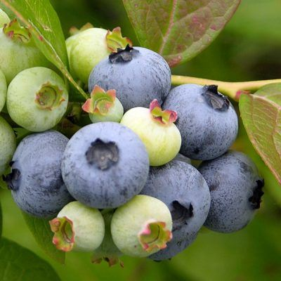 Blueberry Jersey | Blueberry Plants for Sale