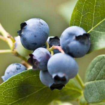 Blueberry (Patriot)   Blueberry Plants for Sale