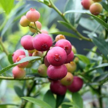 Blueberry_Pink Lemonade | Blueberry Plants for Sale