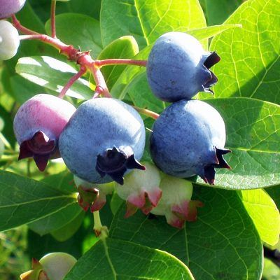 Blueberry (Sunshine Blue) | Blueberry plants for sale