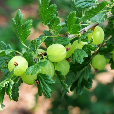 Gooseberry (Hinnonmaki Green) | Gooseberry plants for sale