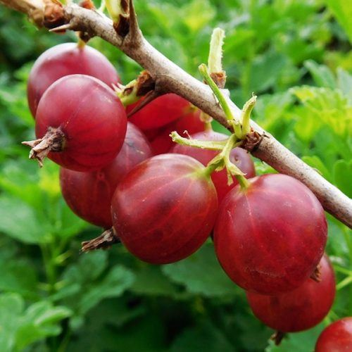 Gooseberry Hinnonmaki Red | Gooseberry plants for sale