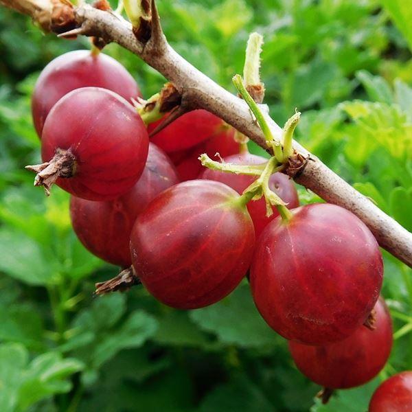 gooseberry hedges - 600×600