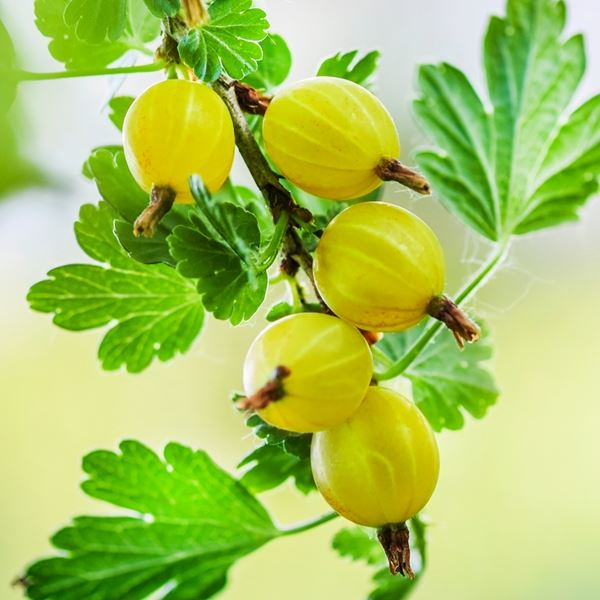 Gooseberry (Hinnonmaki Yellow) | Gooseberry plants for sale