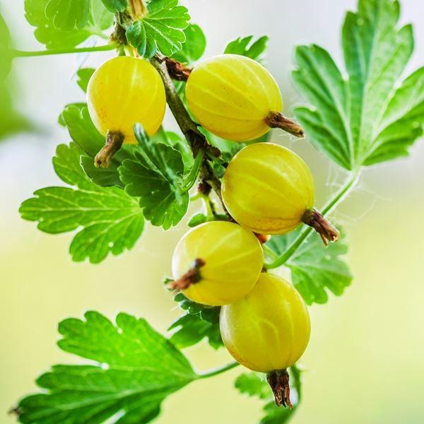 Gooseberry (Hinnonmaki Yellow) | Gooseberry plants for sale