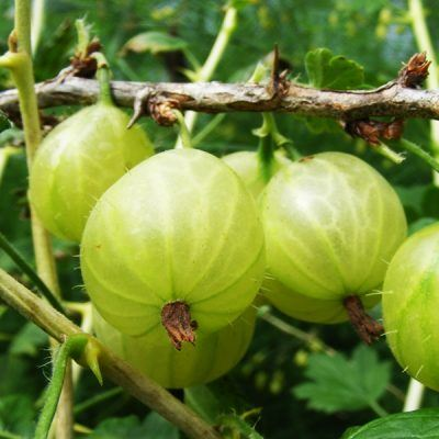 Gooseberry Invicta | Gooseberry plants for sale