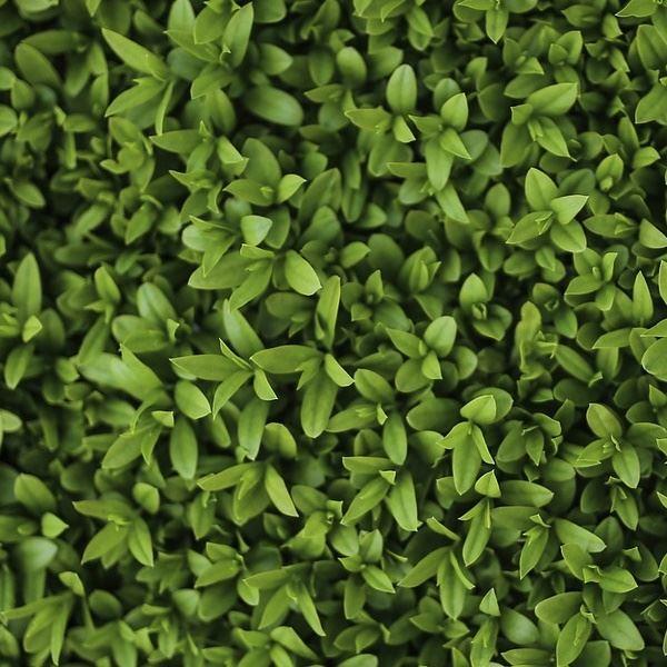 Cheap Plants That Grow Fast: LIGUSTRUM Ovalifolium Green Privet