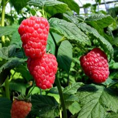 RASPBERRY Malling Jewel 2L pot grown
