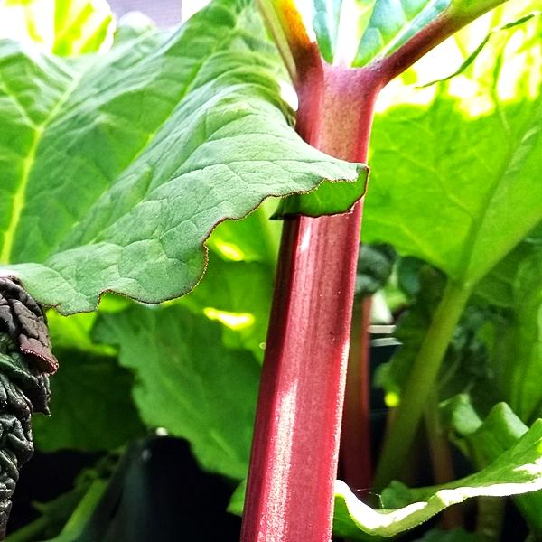 Rhubarb /'Stockbridge Arrow/' One bareroot crown