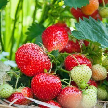 Strawberry Albion | Strawberry Plants For Sale