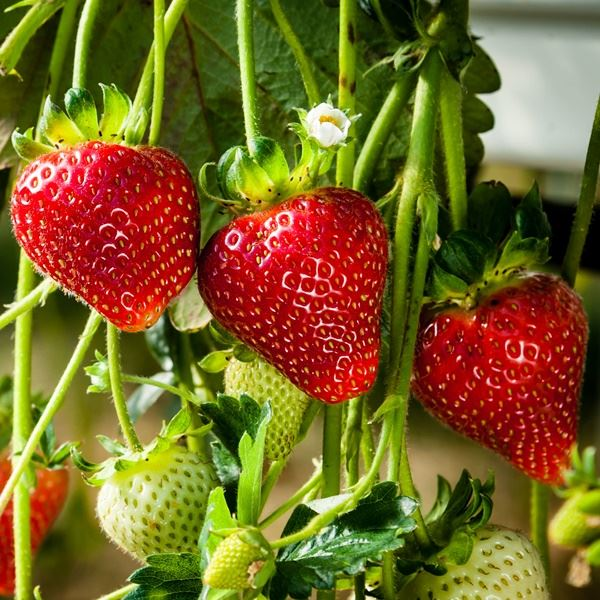 STRAWBERRY Cambridge Favourite 9cm pot grown x 6 plants