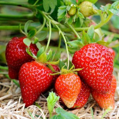 Strawberry Elsanta | Strawberry Plants For Sale