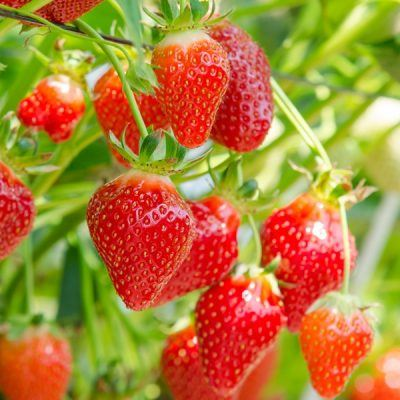 Strawberry Hapil | Strawberry Plants For Sale