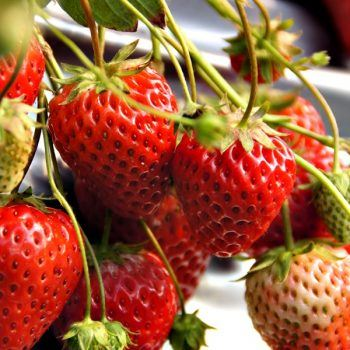 Strawberry Honeoye | Bare Root Strawberry Plants For Sale