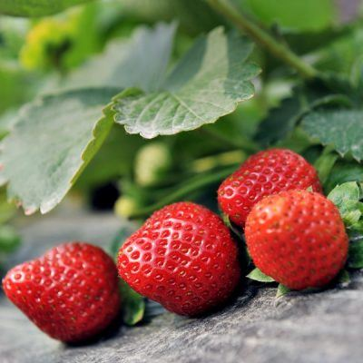 Strawberry Rhapsody | Bare Root Strawberry Plants For Sale