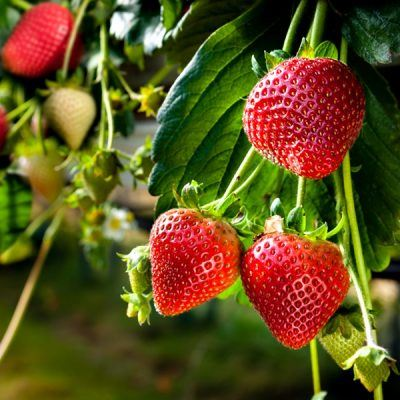Strawberry Symphony | Bare Root Strawberry Plants For Sale