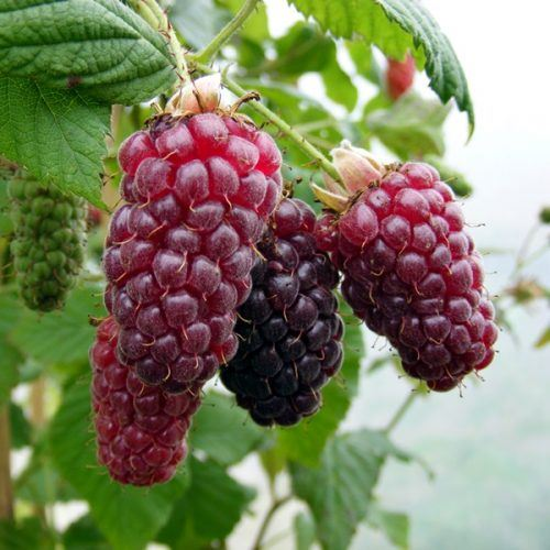 Tayberry | Hybridberry Bushes For Sale
