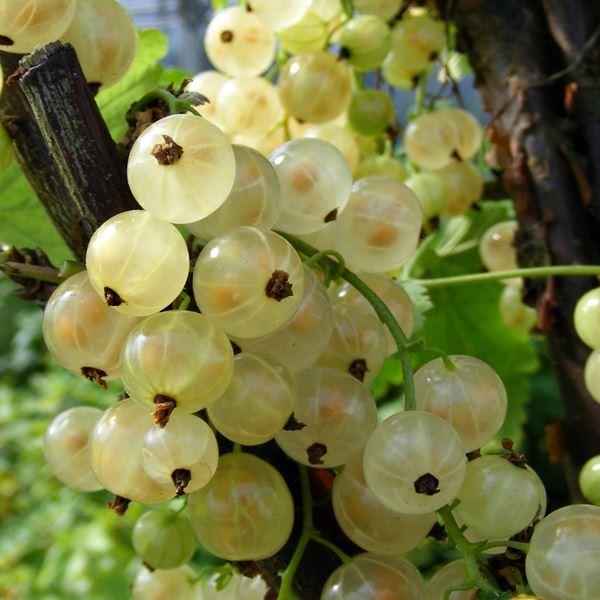 WHITE CURRANT /'Blanca/' fruit bush currant 2l pot FREE DEL/> £25